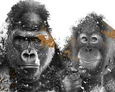 great ape project Great ape project – gap is a international movement created in 1994 the main purpose is to guarantee the basic rights to life, freedom and non- torture of the non- human great apes – chimpanzees, gorillas, orangutans and bonobos, our closest relatives in the animal kingdom.